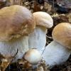 Как приготовить грибной экстракт