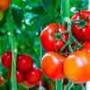 Основные болезни томатов: как их лечить
