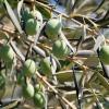 Оливковое масло в домашней косметике