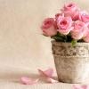 Уход за комнатными розами