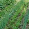 Овощные культуры - как разместить их на участке