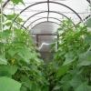 Выращивание огурцов в мини-теплице