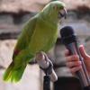 Как научить попугая разговаривать легко