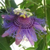 Пассифлора: кавалерская звезда на подоконнике