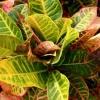 Кротон: ухаживаем за пестрым тропиканцем