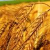 Масло зародышей пшеницы для красивой кожи