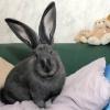 Фландр – гигантский домашний кролик