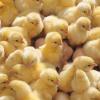 Как вырастить инкубаторских цыплят бройлеров