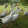 Как ухаживать за домашними гусями