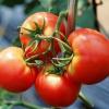 Грунт для томатов: как понять, чего им не хватает