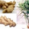 Как вырастить корень имбиря в домашних условиях?