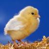 Как сделать цыпленка из полиэтиленового пакета