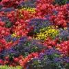 Клумба непрерывного цветения на участке