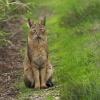 Некоторые факты о камышовом коте