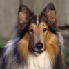 Собаки породы колли: некоторые особенности