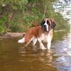Некоторые особенности собак породы сенбернар
