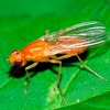Морковная муха: как с ней бороться