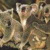 Кто такие коалы