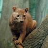 Крупнейший хищник Мадагаскара: фосса