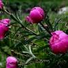 Как ухаживать за пионами после цветения