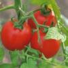Как вырастить дома хорошую рассаду помидоров