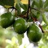 Авокадо – вкусное лекарство от многих недугов