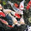 К чему снится рыба, видеть рыбу во сне