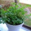 Как выращивать зелень в домашних условиях