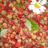 Простой рецепт ликерного вина из лесной земляники