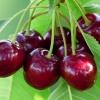 В чем польза вишни
