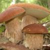 Съедобные грибы - где собирать?
