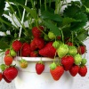 Как вырастить клубнику в горшочках