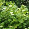 Цветущая гортензия: королева вашего сада