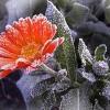 Как защитить растения от заморозков