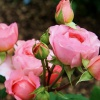 Как выращивать садовую розу