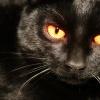 Уход и содержание бомбейской кошки