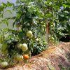 Как сажать помидоры, перцы и огурцы в теплице