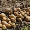 Традиционные способы посадки картофеля