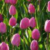 Когда убирают тюльпаны после цветения