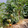 Можно ли сажать в одной теплице огурцы и помидоры