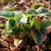 Чем подкормить клубнику после обрезки листьев