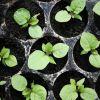 Когда посеять семена баклажан в 2018 году по Лунному календарю
