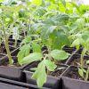 Когда сажать рассаду помидоров