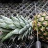 Как и когда посадить ананас в домашних условиях