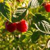 Чем подкормить малину весной до цветения