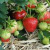 Чем подкормить клубнику весной и летом