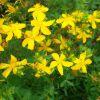 Зверобоя трава: инструкция по применению, показания, цена
