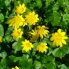 Растение чистяк: описание, свойства и применение