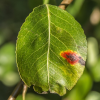 Почему краснеют листья у груши