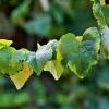 Почему у винограда бледные листья?